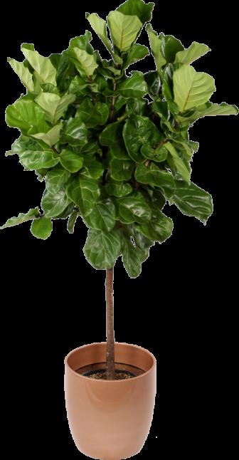 Ficus Lyrata Standard (Fiddle Leaf Fig)
