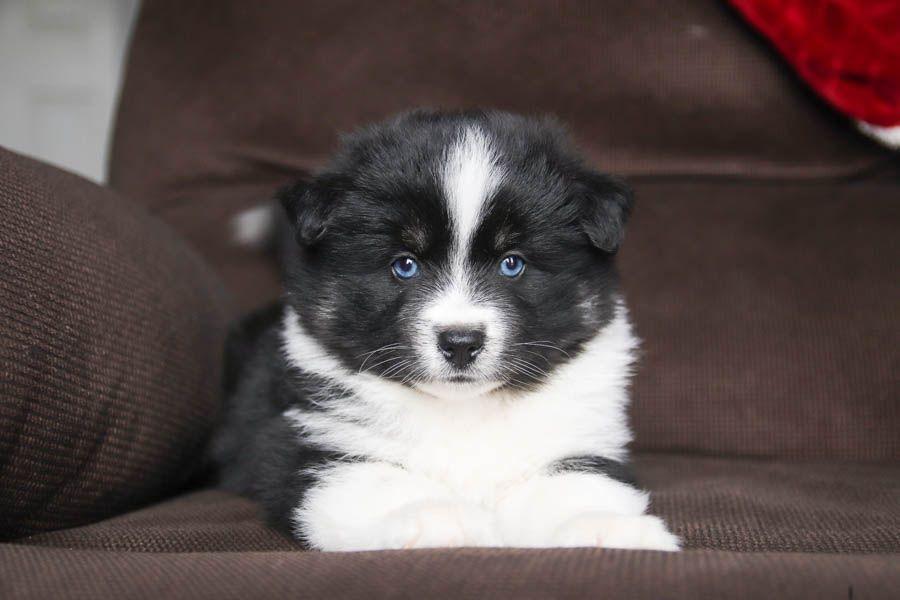 Pin By Jennifer Torres On Awwwww Pomsky Puppies Pomsky Puppies For Sale Lancaster Puppies