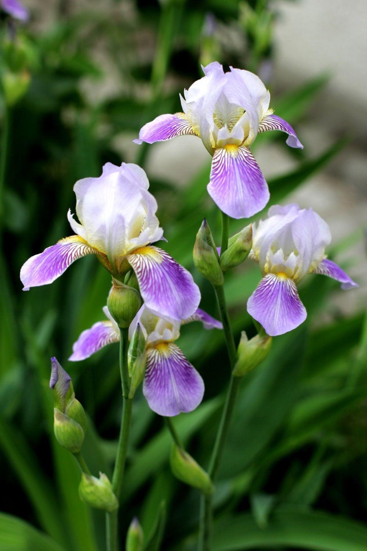 Iris flower facts gardenflowers pinterest iris flowers and iris flower facts izmirmasajfo