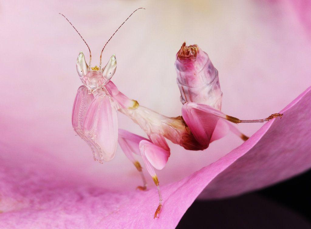 Orchid Mantis Orchid Mantis Orchids Flower Boys