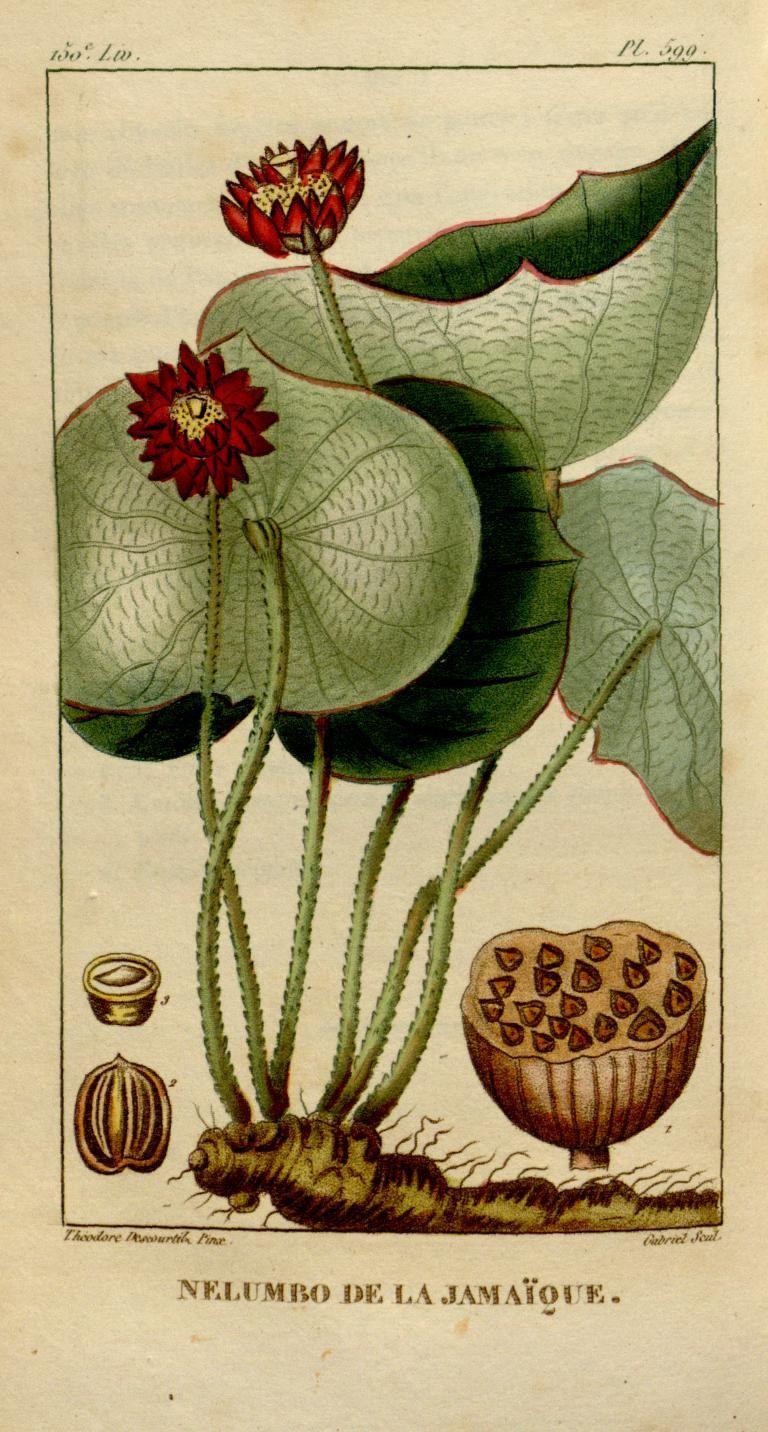 Nelumbo (lotus) illustration by J. Theodore Descourtilz from Flore Médicale des Antilles. Published by Pichard, Paris, 1821-29