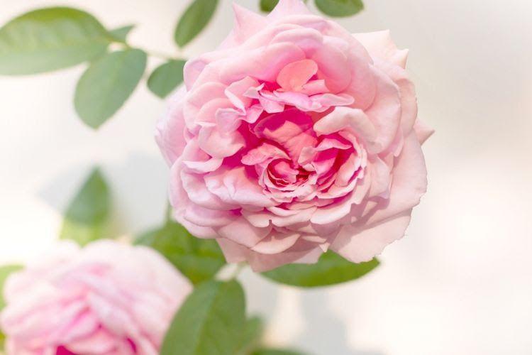 Gambar Bunga Layu Ditangan Bunga Cantik Tapi Mudah Layu Semua Wanita Di Dunia Jika Mengerti Makna Dari Bunga Mawar Meski Sama Di 2020 Bunga Gambar Wallpaper Bunga