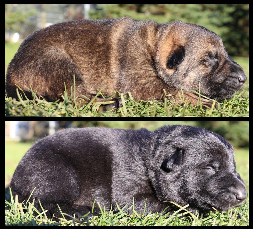 German shepherd puppies for sale from world class breeder