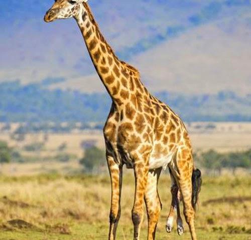 شاهدوا بالفيديو لحظات ولادة زرافة Giraffe Animals