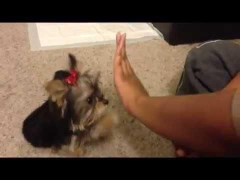 Yorkie Puppy Plays Patty Cake With Owner - #cute #dog