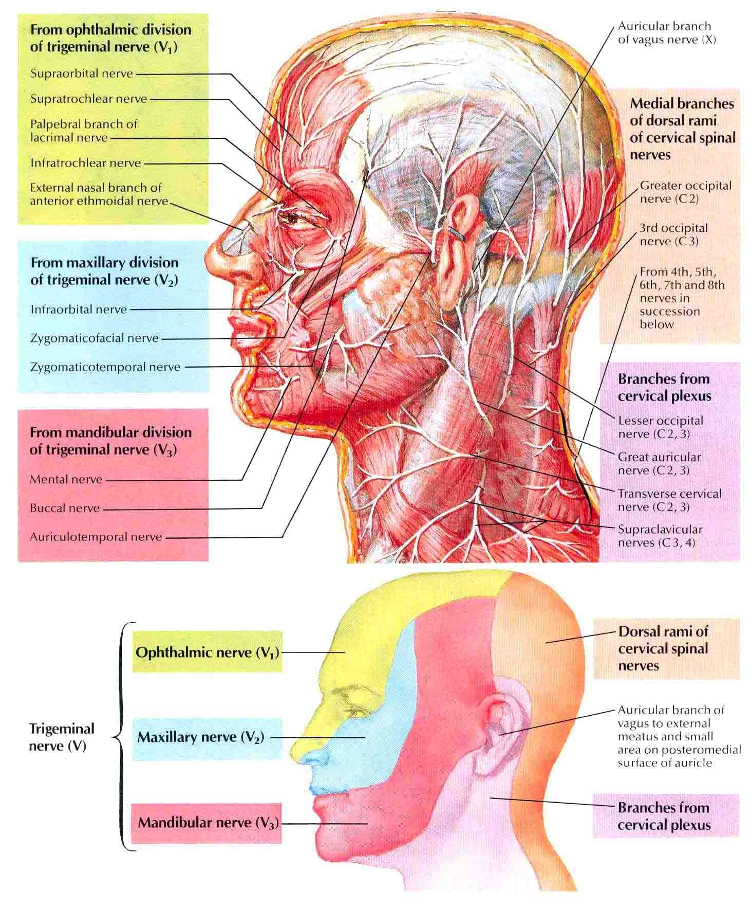 Head And Neck Nerves Pinterest Head And Neck Anatomy