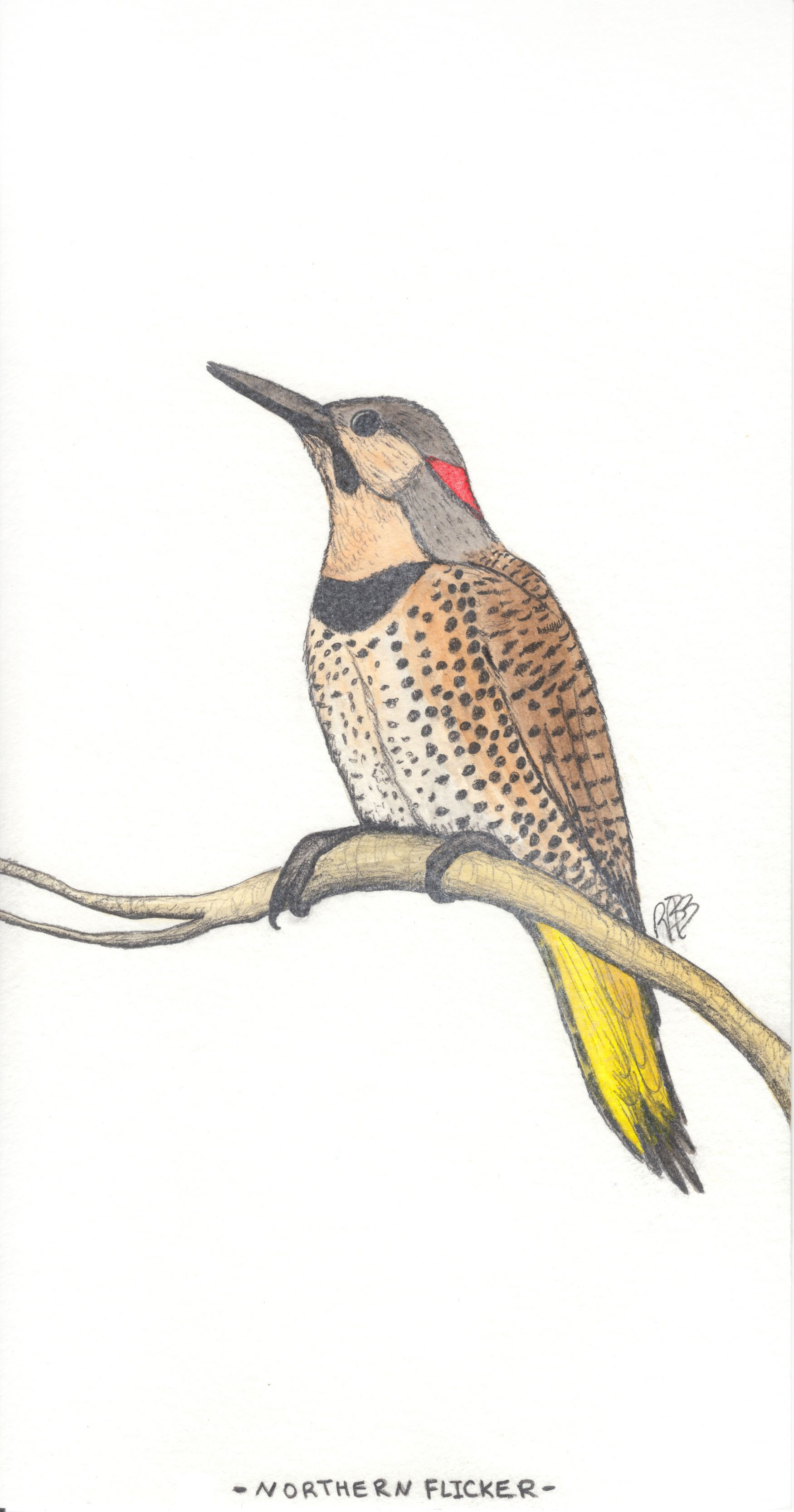 northern flicker  aka yellowhammer  alabama u0026 39 s state bird