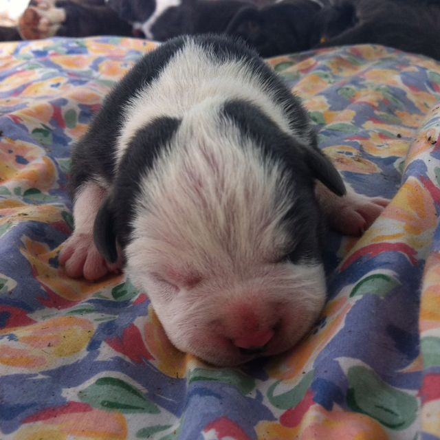 Two Day Old Blue American Staffy Puppy So Cute Staffy Pups Most Beautiful Dogs Animals