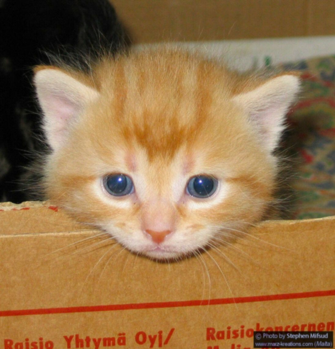 Munchkin Cat Cats Breeds Pinterest