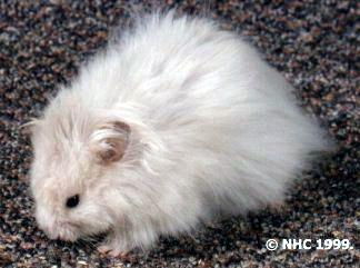 Black Eyed Ivory Syrian Hamster Hamster Hamster Species