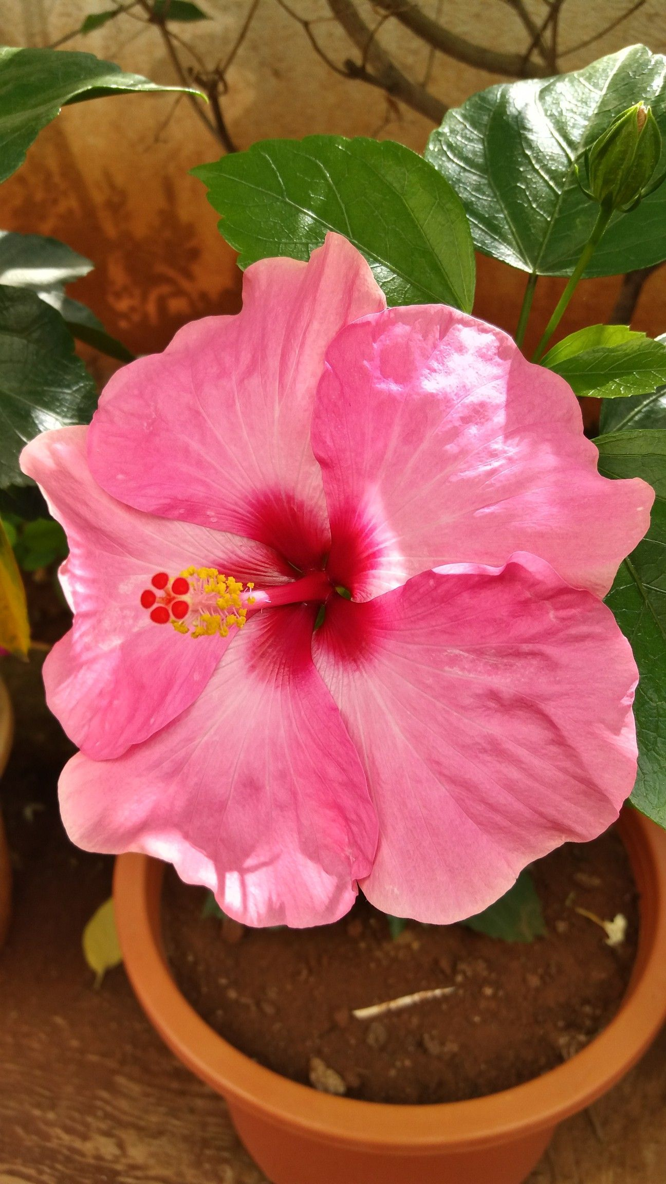Hibiscus. Home Garden. Pune. India. 24.04.2018. Hibiscus