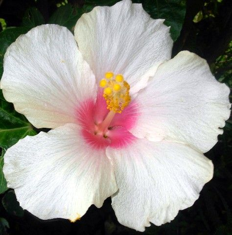 I've never seen a Hibiscus in white. Gorgeous!