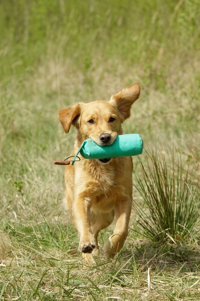 Sudden Paralysis During Play What Every Pet Parent Needs To Know Pets Dogs Pet Parent