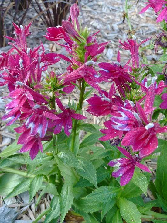 fan burgundy lobelia nature pinterest fleurs. Black Bedroom Furniture Sets. Home Design Ideas