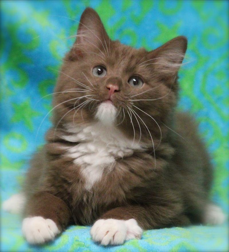 Cinnamon Ragdoll Kitten Cute Cats And Kittens Kittens Cutest Beautiful Cats