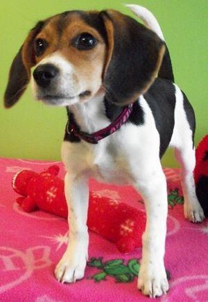 Pin On Beagle Cuteness
