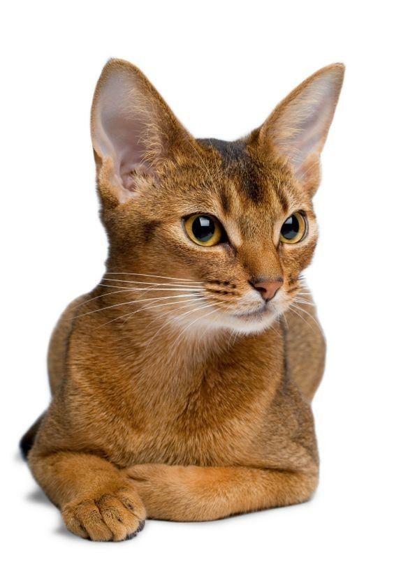 Pin van De katterie op Katten Katten, Mooie katten, Abessijn