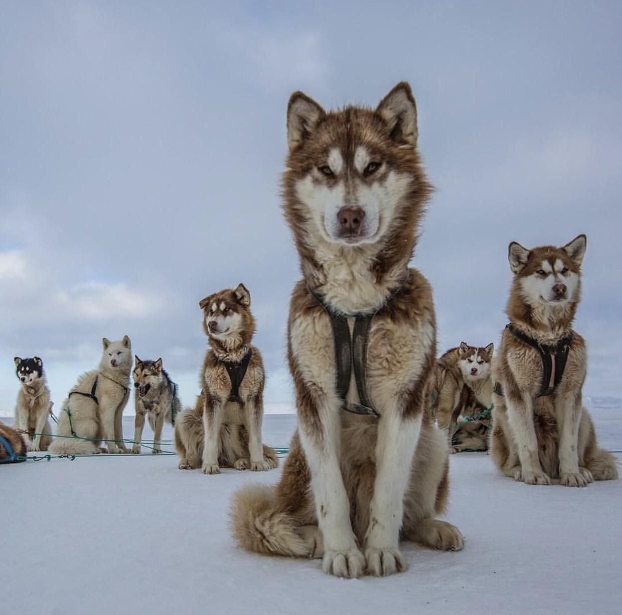 A group of sled dogs pose on Greenland's sea ice Cristina