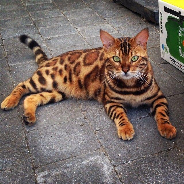 Chillin 'buiten #cat #cats #catstagram #catsagram #instagood #kitten #kitty #k ...  #adorable #animal #animals #bengal