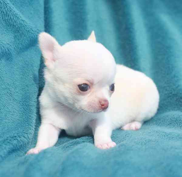 We Have Beautiful Chihuahua Puppies Adoption All Puppies Are