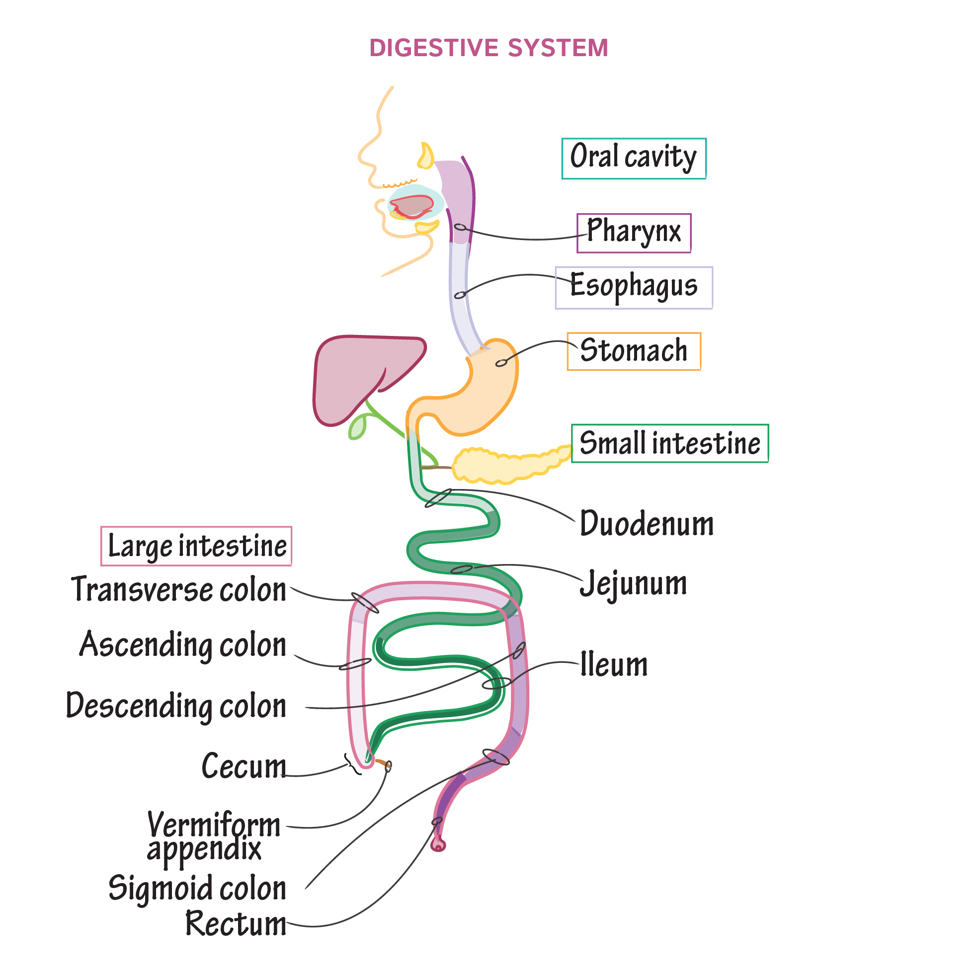 Digestive System Overview (With images) | Digestive system ...