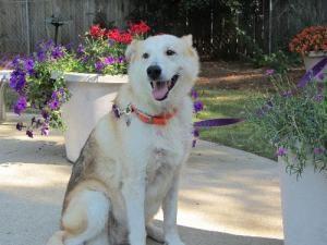 Adopt Samantha On Beautiful Dogs Alpha Dog German Shepherd Dogs