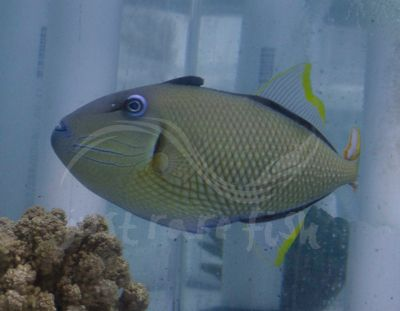 Crosshatch Trigger Blue Throat Hybrid Rare Fish Fish For Sale Fish Pet