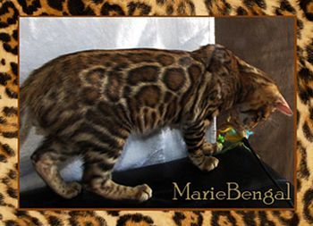 Visit Marie #Bengals website  http://www.absolutelycats.com/23Bengal.html