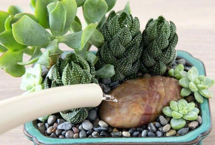Arrosage Cactus Et Plantes Succulentes Trucs Et Astuces A Savoir