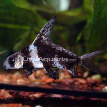Chinese Hi Fin Banded Shark Tropical Fish Tanks Pets Aquarium Fish