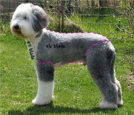 Old English Sheepdog Grooming, Haircut Sport Clip