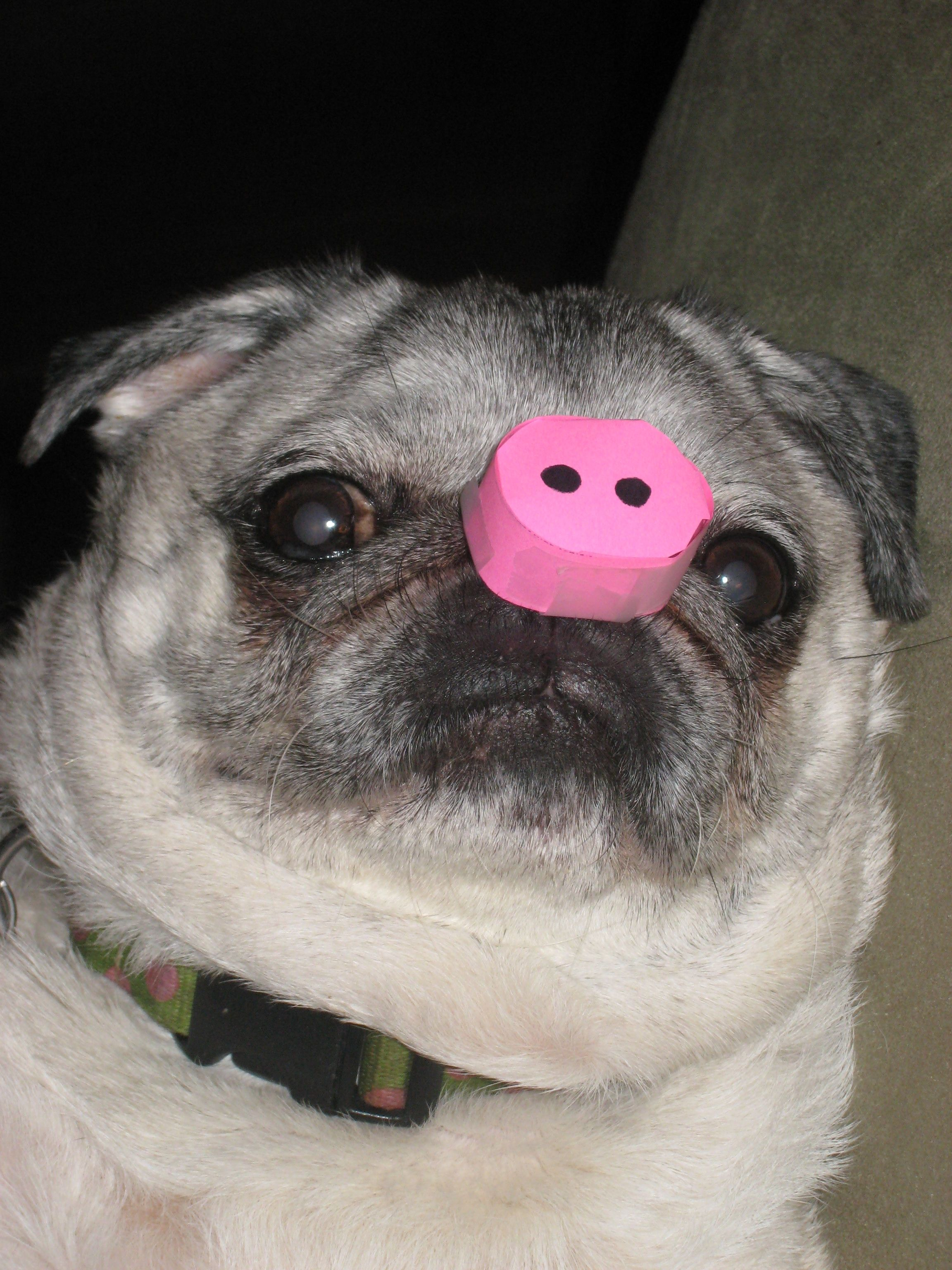 Oh My Gosh Pugs And Pigs Are My Favorite Animals And Now They Are