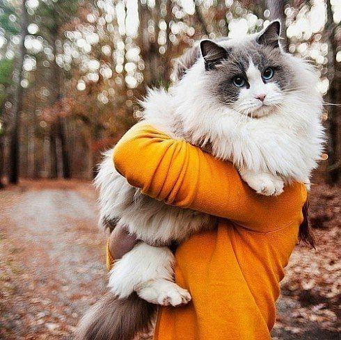 fluffy cat! H U G E !!!!!!!!!!!
