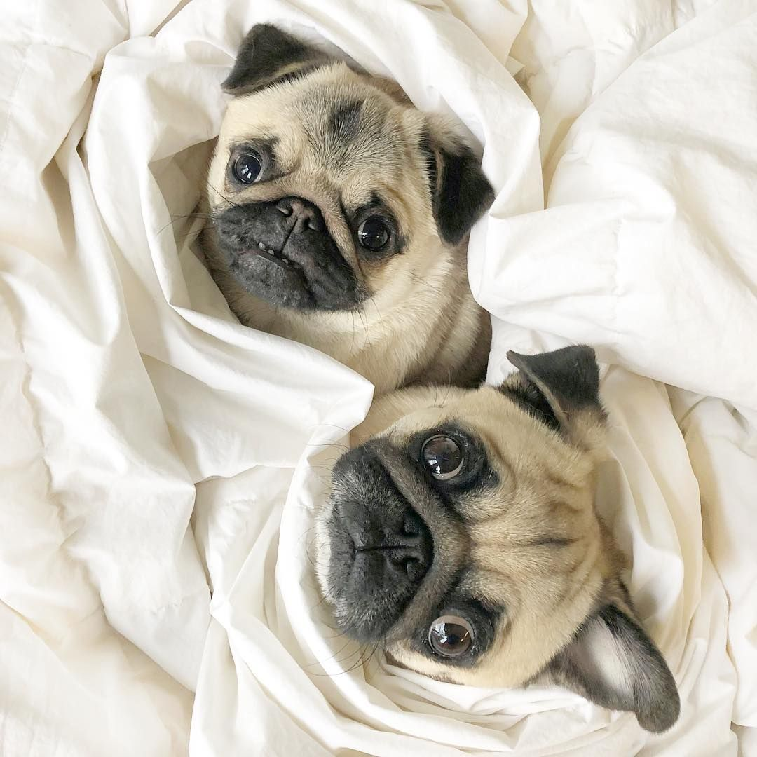 It S Me Moose The Pug On Instagram Two Pugs In A Blanket