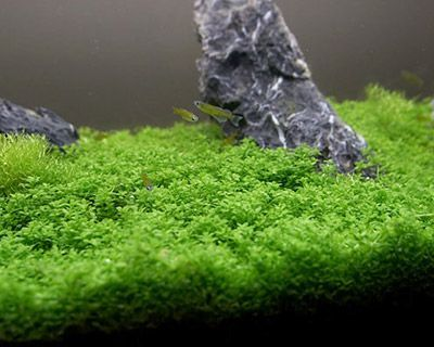 Dwarf Baby Tears Growing Like Moss On A Log Forming Hanging Vines These Things Love Co2 Freshwater Plants Fish Tank Plants Planted Aquarium