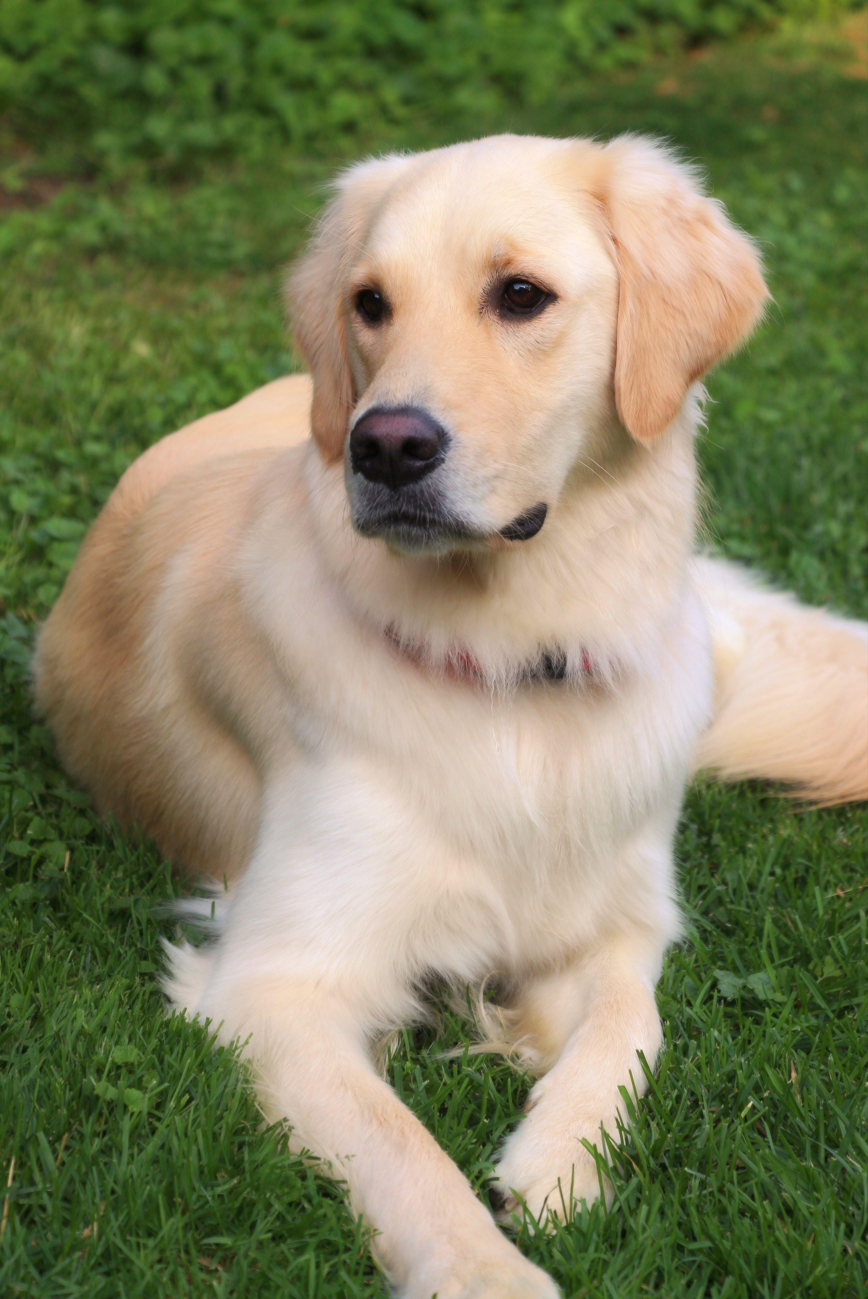 Gracie Golden Retriever Dogs Dogs Golden Retriever Little Dogs
