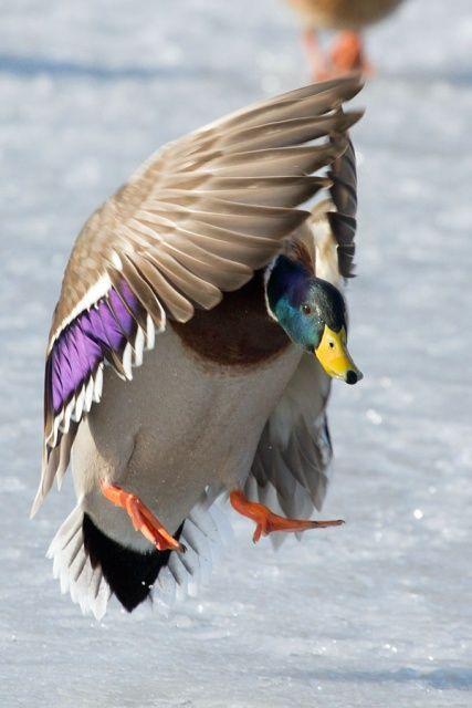 Pin By Julie Blayney On Aves Mundo Beautiful Birds Duck Wallpaper Colorful Birds