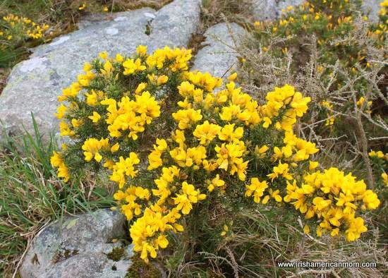 Yellow gorse furze or whinn flora and fauna book pinterest yellow gorse furze or whinn mightylinksfo