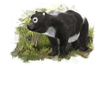 Un 'primo' del oso panda gigante vivió en Zaragoza.