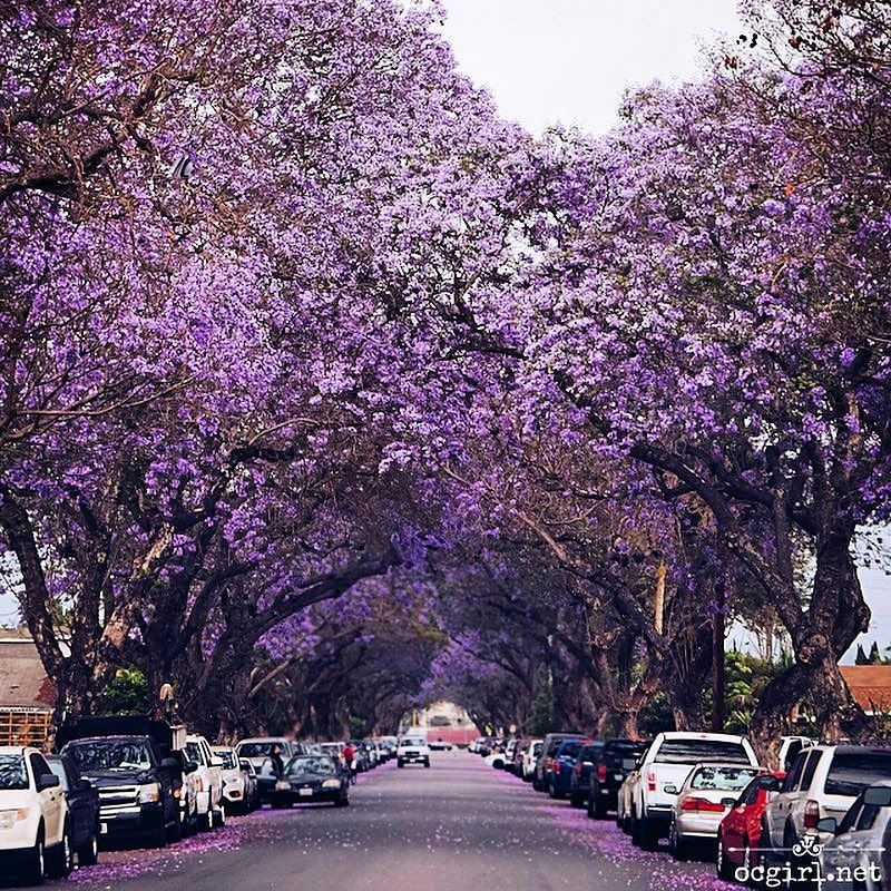 The West Coast Version Of The Cherry Blossom Has Just Started Blooming In California Jacaranda Tree California West Coast