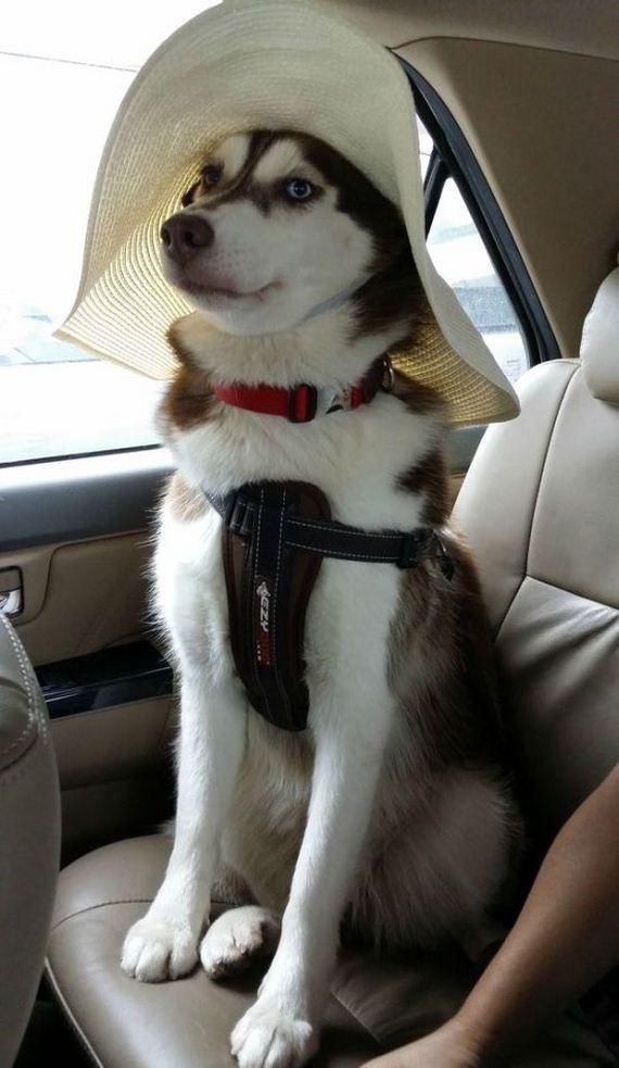 Днем рождения, смешные картинки с собаками хасками