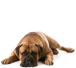Bullmastiff Pet Insurance Compare 2016 S Best Plans With Images
