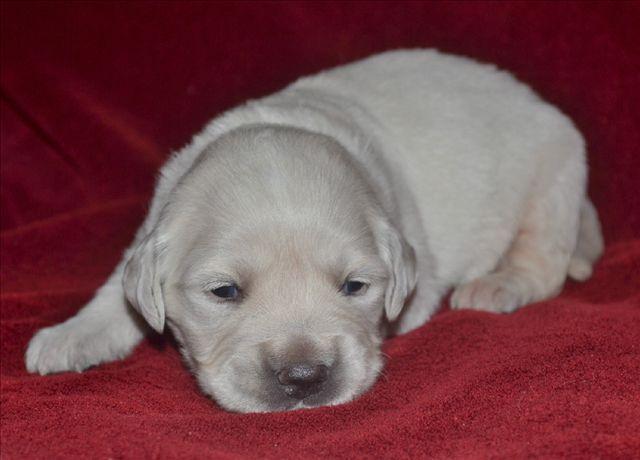Two week old English Cream Golden Retriever puppy!