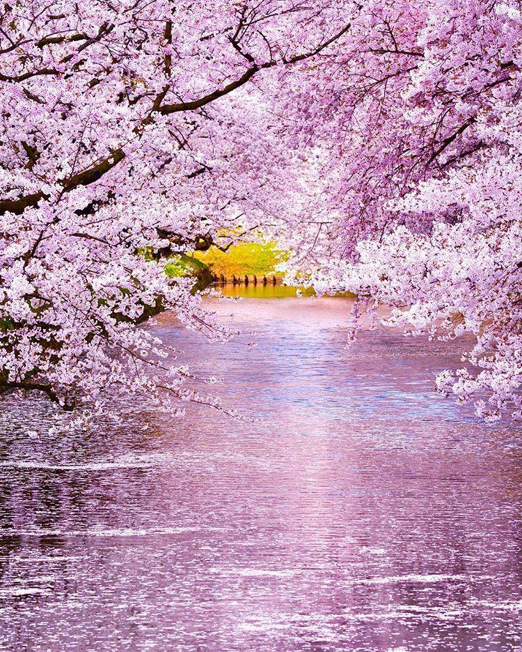 Hirosaki Cherry Blossom Festival, Aomori, Japan, 弘前さくらまつり