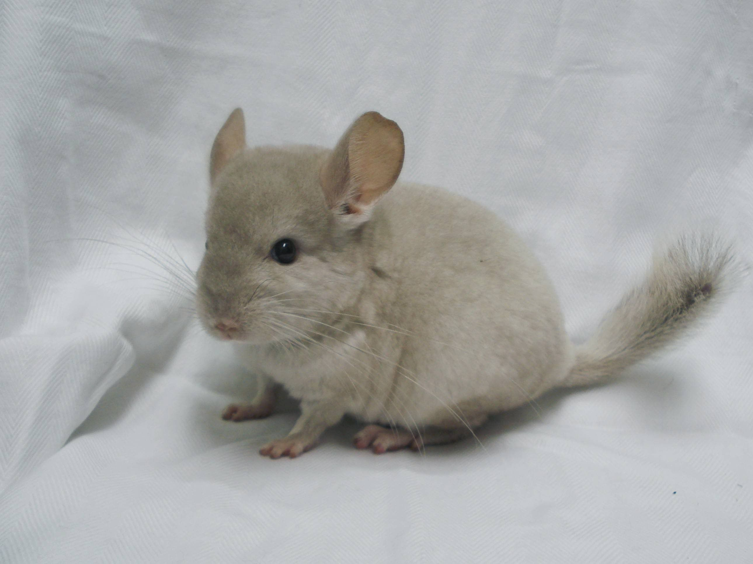 baby chinchilla Animals Pinterest Chinchillas, Fur