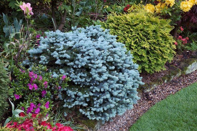 Conifere Nane Con Immagini Sempreverde Arbusti Da Fiore
