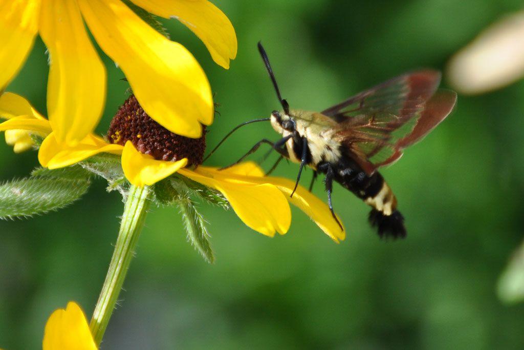 Hummingbird Moth with Black Eyed Susans. Shot with a Nikon