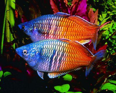 Rainbow Fish Rainbow Fish Fish Fresh Water Fish Tank