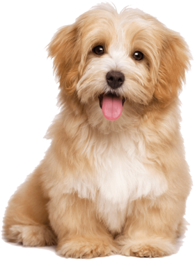 Cute Real Little Puppies For Sale In 2020 Havanese Puppies Dog Breeds That Dont Shed Hypoallergenic Dog Breed
