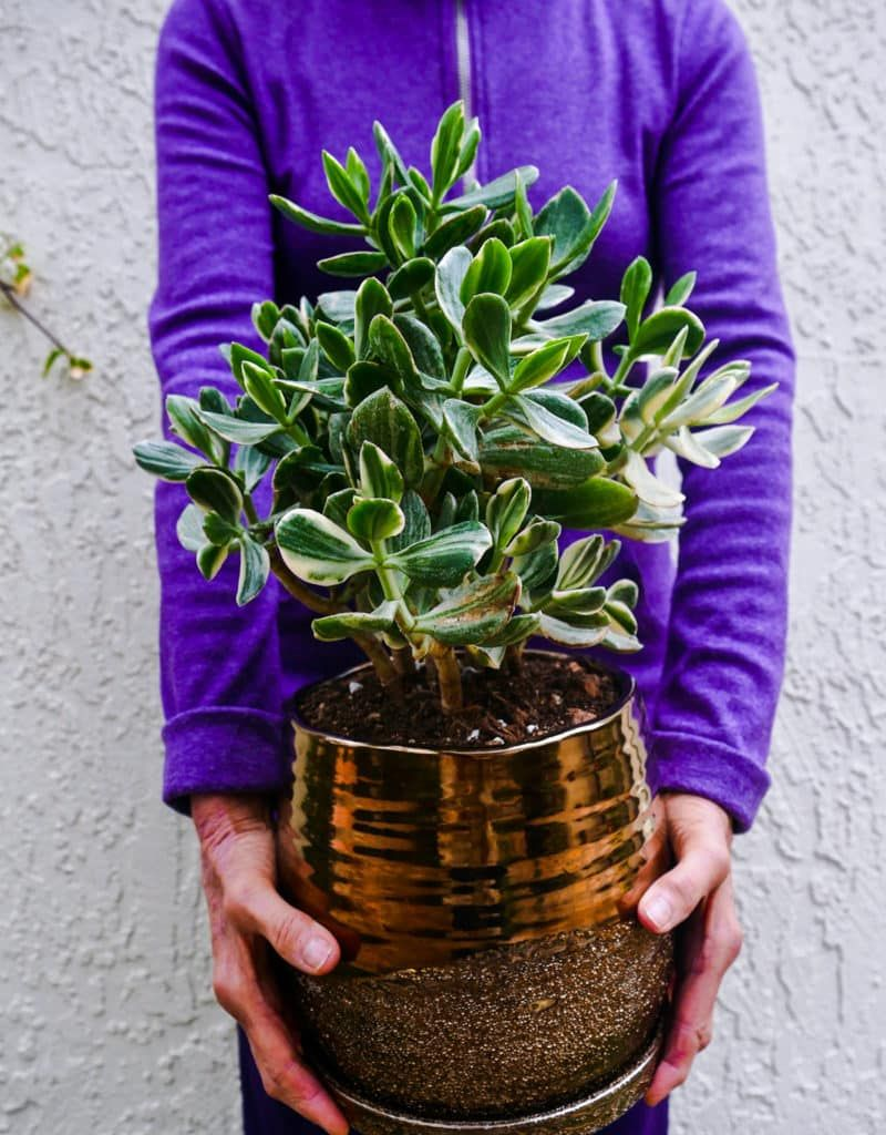 Jade Plants Do Great In Containers Here S What You Need To Know About Repotting Jade Plants Including When The Steps Jade Plants Repotting Succulents Plants